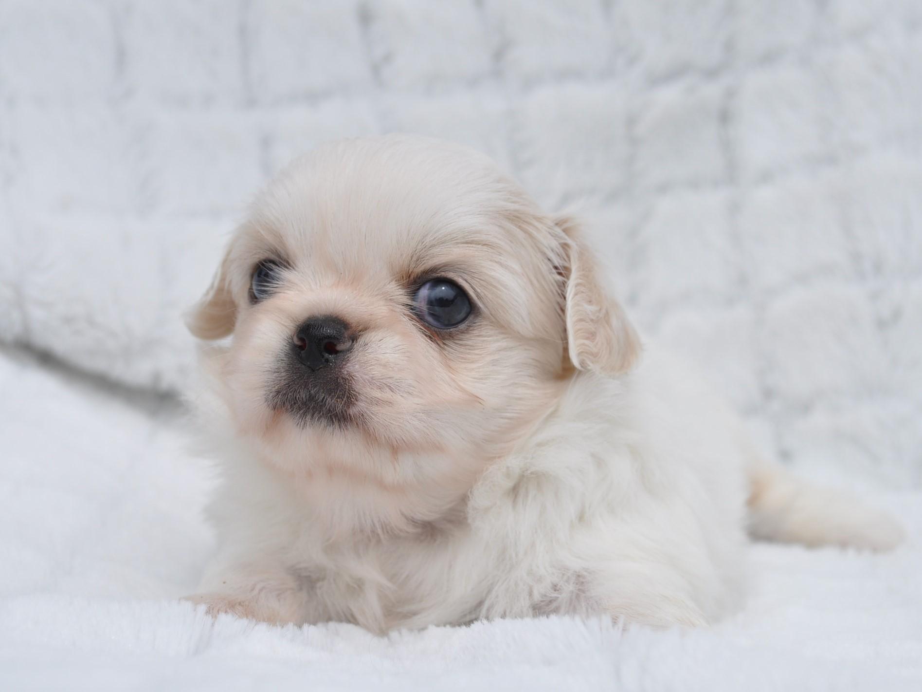 7月21日生まれ・愛知ブリーダー出身のペキチワの女の子です。 シーズーに似た鼻ぺちゃタイプのペキニーズと、小柄で可愛いチワワ の血統をもったミックス犬になります。