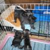 シュナプーの子犬販売中(シュナウザー×プードル)